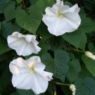 Alabaster White Moonflower Vine Ipomoea alba - 10 Seeds
