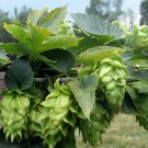 Organic Heirloom Hops Humulus lupulus - 20 Seeds