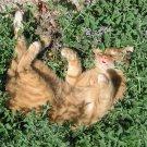 Organic Herb True Catnip Cat Mint Nepeta Cataria - 200 Seeds