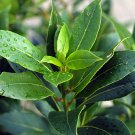Sweet Bay Laurel Bay Leaf Laurus nobilis - 5 Seeds