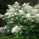 White Bride's Feathers Aruncus Dioicus  - 100 Seeds