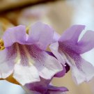 Worlds Fastest Growing Tree Empress Tree Paulownia tomentosa - 200 Seeds