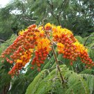 Unusual Colville's Glory Tree Colvillea racemosa - 5 Seeds