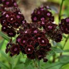 Almost Black Sweet William Dianthus barbatus nigrescens 'Sooty' - 20 Seeds