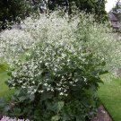 Greater Sea Kale Crambe cordifolia - 10 Seeds