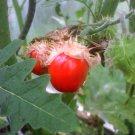 Litchi Tomato Morelle de Balbis Solanum sisymbriifolium - 20 Seeds