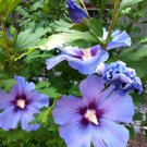 Blue Wheel Hibiscus Rose of Sharon Hibiscus syriacus - 15 Seeds
