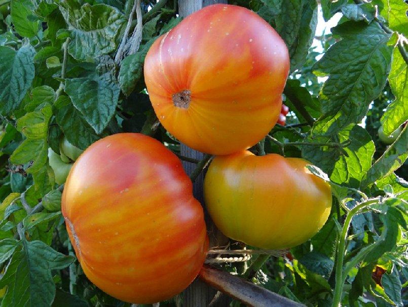 Organic Heirloom Sweet Pineapple Tomato Lycopersicon lycopersicum - 25 Seeds
