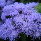 Floss Flower Blue Mink Ageratum Houstonianum - 200 Seeds