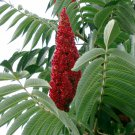 Red Staghorn Sumac Rhus typhina - 15 Seeds