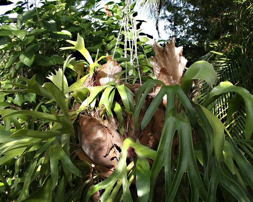 Elkhorn Staghorn Fern Platycerium Sp - 200 Seeds Spores