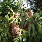Elkhorn Staghorn Fern Platycerium Sp - 200 Seeds Spores