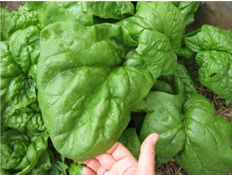 Organic Heirloom Spinach Giant Noble Spinacia Oleracea