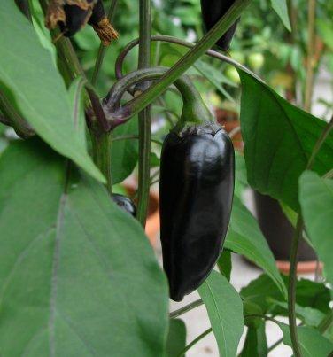 Organic Heirloom Black Hungarian Chili Pepper Capsicum annuum - 25 Seeds