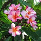 Hawaii Oahu Maui Kauai Molokai Lanai Plumeria - 5 Seeds