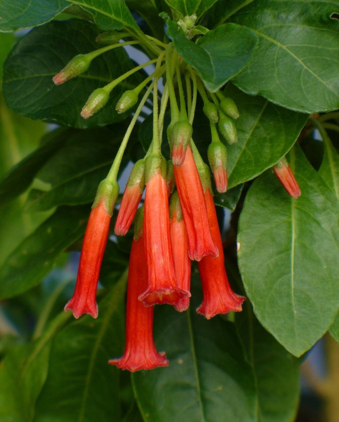 Red Mini Angel Trumpet Relative Iochroma Fuchsioides - 10 Seeds