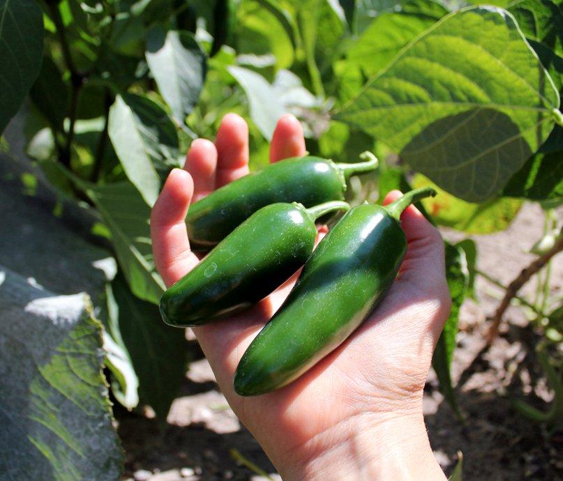 Mexican  Jalapeño Hot Pepper Capsicum Annuum - 50 seeds