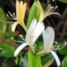 Japanese Tea Honeysuckle Lonicera japonica - 25 Seeds