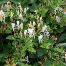 Medicinal Herb Japanese Tea Honeysuckle Lonicera japonica - 30 Seeds