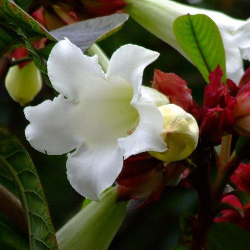 White Herald S Trumpet Vine Beaumontia Grandiflora 10 Seeds