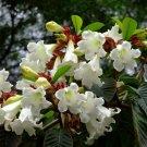 White Easter Lily Vine Beaumontia grandiflora - 15 Seeds