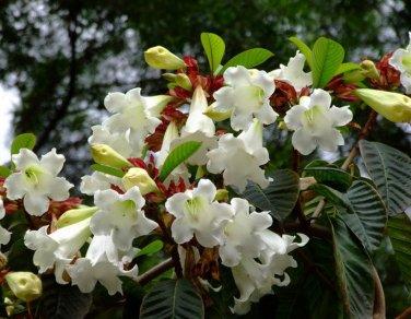 White Easter Lily Vine Beaumontia grandiflora - 8 Seeds