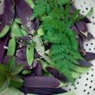 NEW! Rare Blue Pod Capucijner Pea Pisum sativum - 25 Seeds