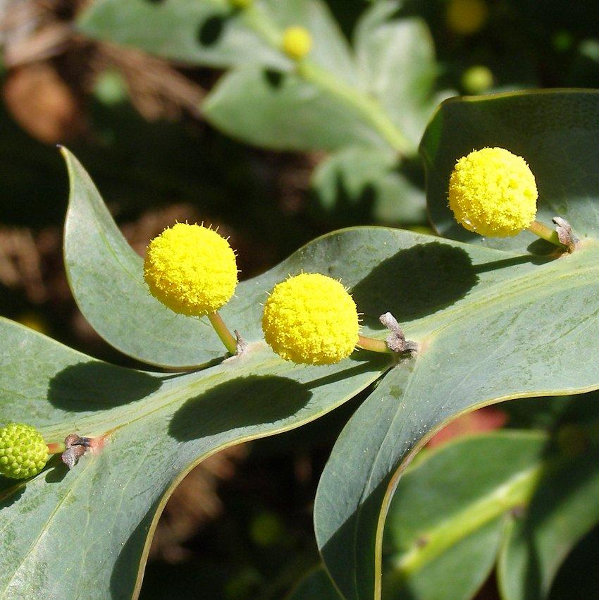 Rare! Flat or Clay Wattle Acacia glaucoptera - 5 Seeds