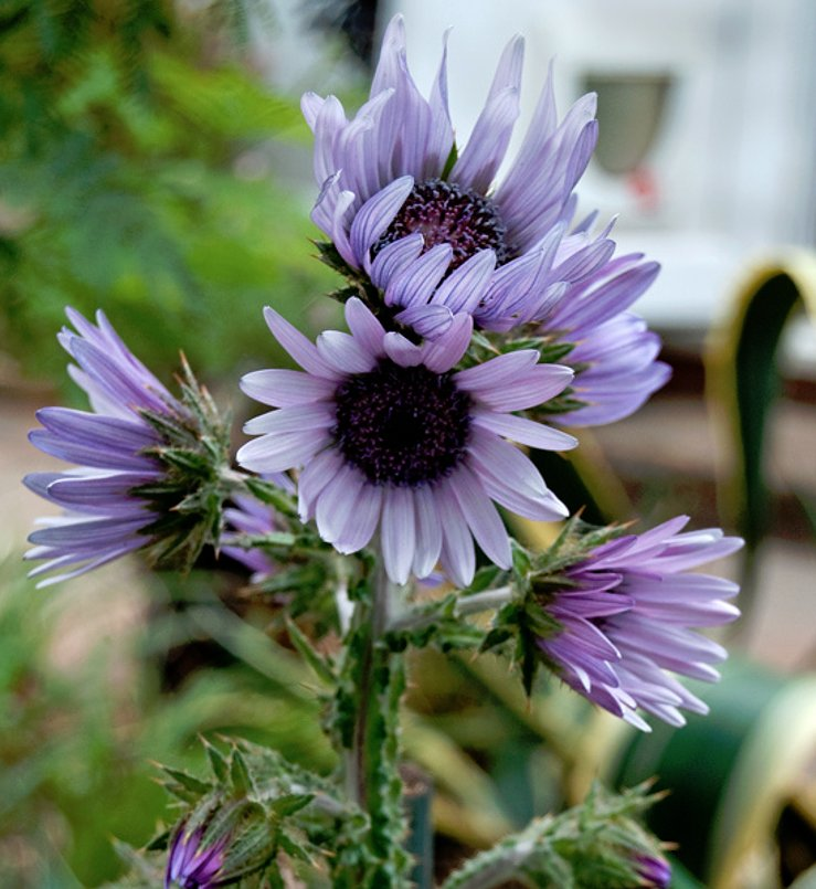 South African Lavender Zulu Warrior Berkheya purpurea - 15 Seeds