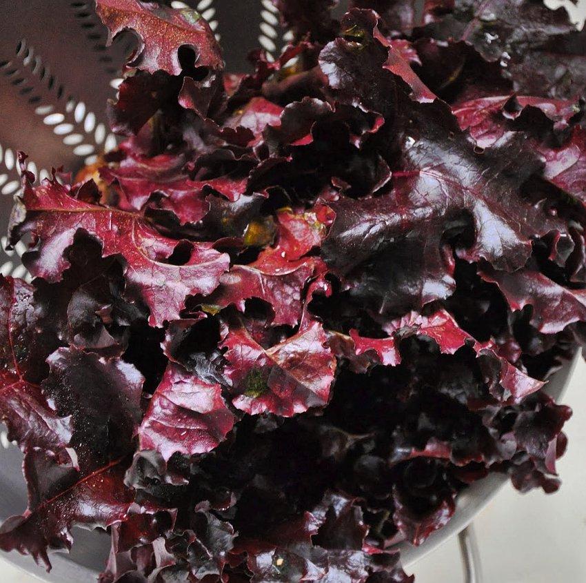 Organic Merlot Lettuce OP Lactuca sativa - 100 Seeds