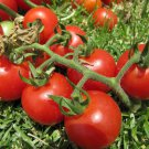 Organic Heirloom Cherry Tomato Tommy Toe Lycopersicon lycopersicum  - 35 Seeds