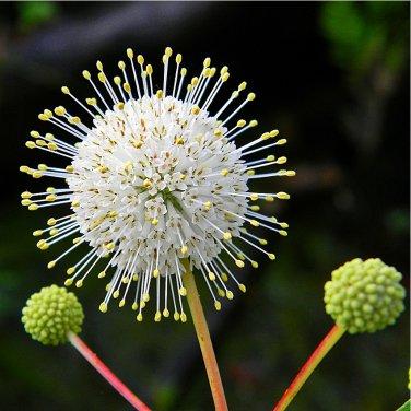 Sputnik Honey Ball White Button Bush Cephalanthus occidentalis - 100 Seeds
