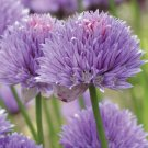 Edible Flowers Organic Chives Allium schoenoprasum - 300 Seeds