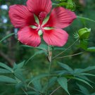 Scarlet Red Star Hibiscus coccineus - 10 Seeds