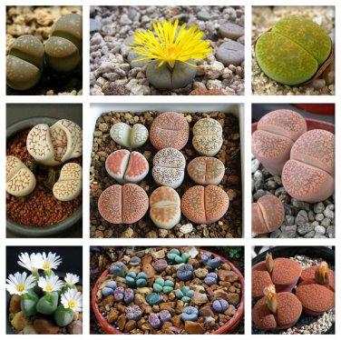Pebble Plant Mix Cactus Lithops Succulents Living Stones - 15 Seeds