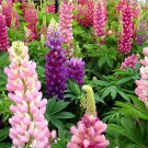 Lupin Russell Lupine Lupinus polyphyllus - 100 Seeds