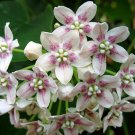 Rare Tropical Milkweed Vine Wattakaka Dregea sinensis - 8 Seeds
