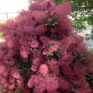 Purple Smoke Bush Cotinus Coggygria v Purpureus - 10 Seeds