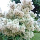 European Smoke Bush Cotinus Coggygria -15 Seeds