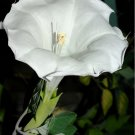 Large White Thorn-Apple Devils Trumpet Datura inoxia - 10 Seeds