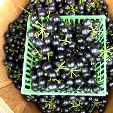 Organic Heirloom Garden Huckleberry Solanum melanocerasum - 50 Seeds