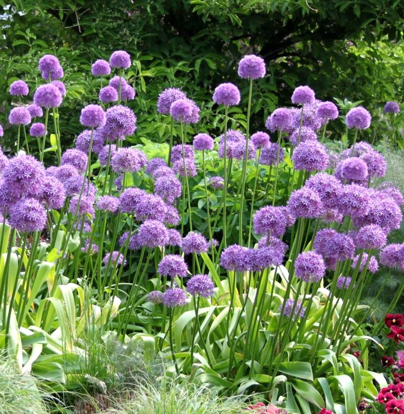 ornamental onion 39 purple sensation 39 allium aflatunense 50 seeds. Black Bedroom Furniture Sets. Home Design Ideas