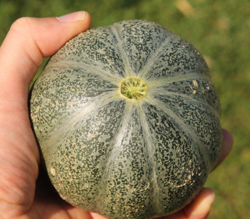 Rare Small Heirloom True French Petit Gris de Rennes Gourmet Melon Cucumis Melo - 20 Seeds
