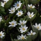 Hardy White Bloodroot Sanguinaria canadensis - 15 Seeds