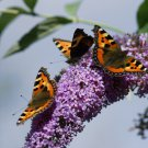 Buddleia Butterfly Bush Buddleja davidii - 100 Seeds