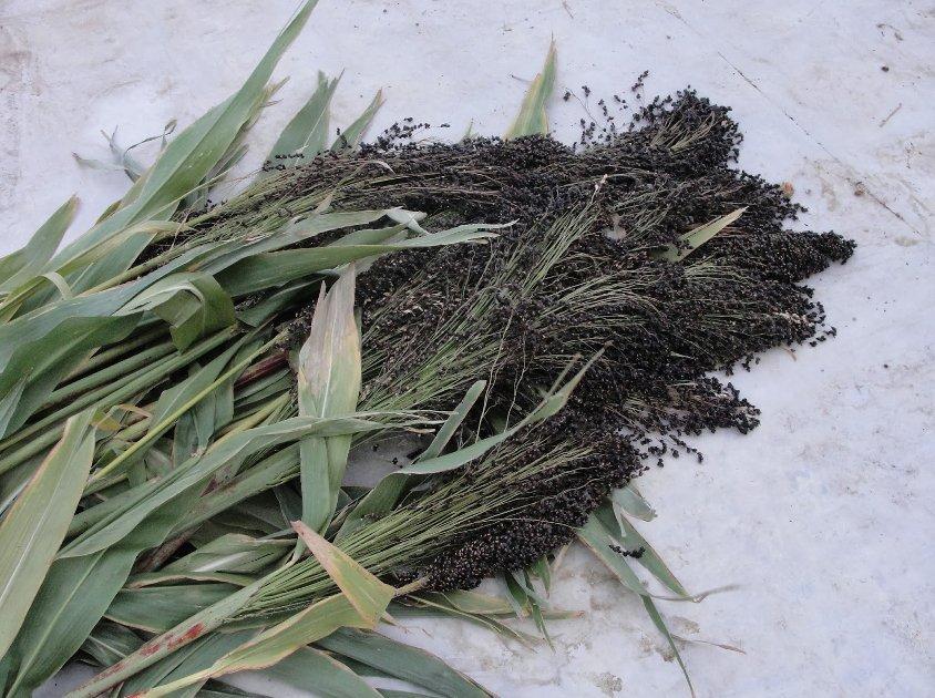 Organic Heirloom Sorghum Black Amber Sorghum bicolor - 100 Seeds