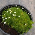 Fairy Garden Heath Pearlwort Irish Moss Sagina Subulata - 100 Seeds