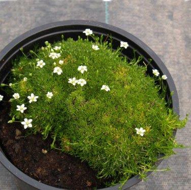 Fairy Garden Heath Pearlwort Irish Moss Sagina Subulata - 100 Seeds