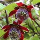 Wingstem Fragrant Granadilla Passion Flower Passiflora alata - 5 Seeds