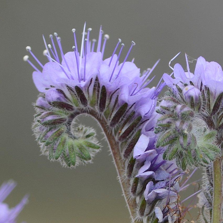 Unusual Purple Fiddleneck Phacelia tanacetifolia  - 300 Seeds